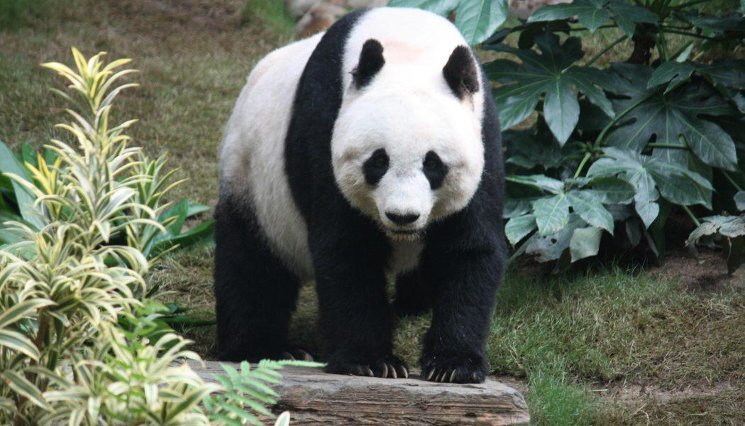 Panda Ban in North Carolina