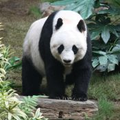 Panda Ban in North Carolina